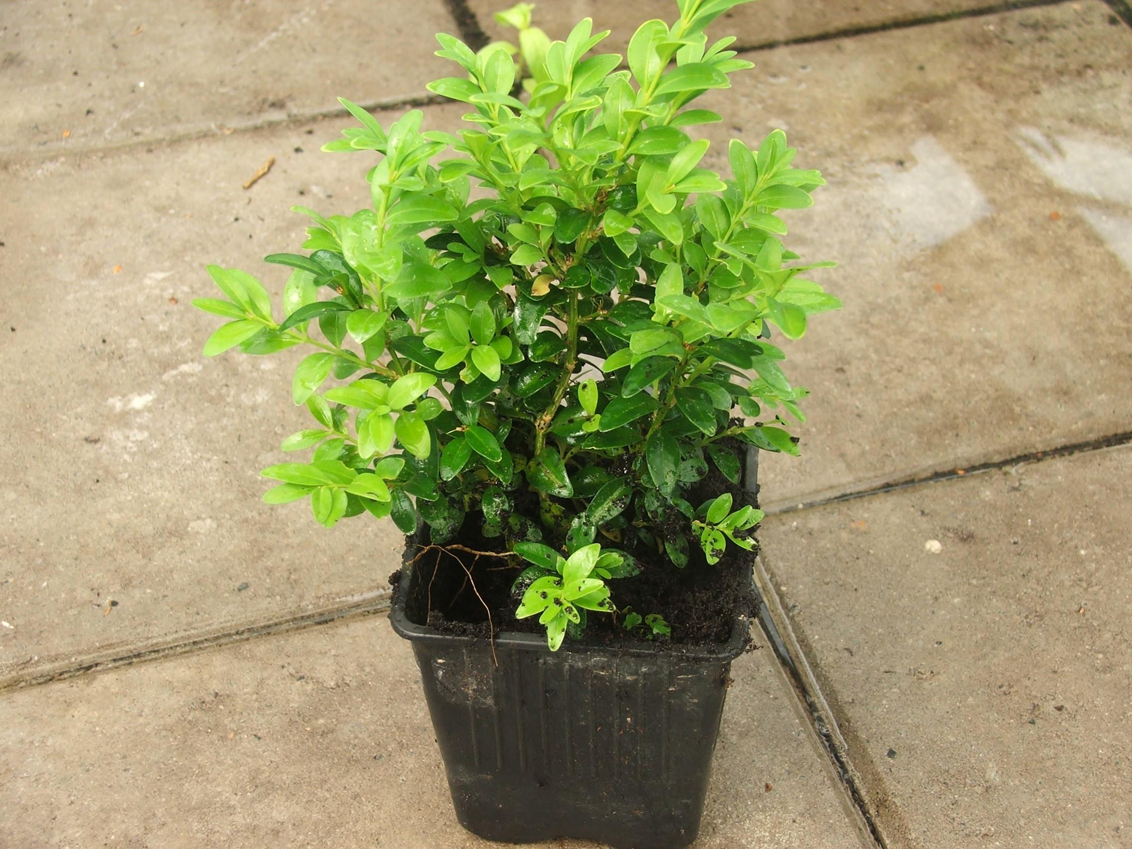 haagbuxus in pot, haagbuxus gekweekt.
